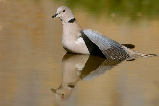 Streptopelia decaocto пьет в прудовой воде летом, птиц, голубей, ошейниковый голубь, туртур Premium Фотографии
