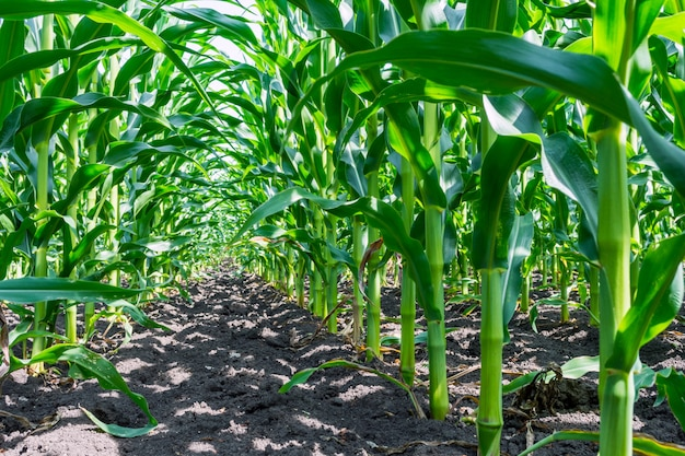 Strong, even corn plants on the field,in the phase of the formation of the rock Premium Photo