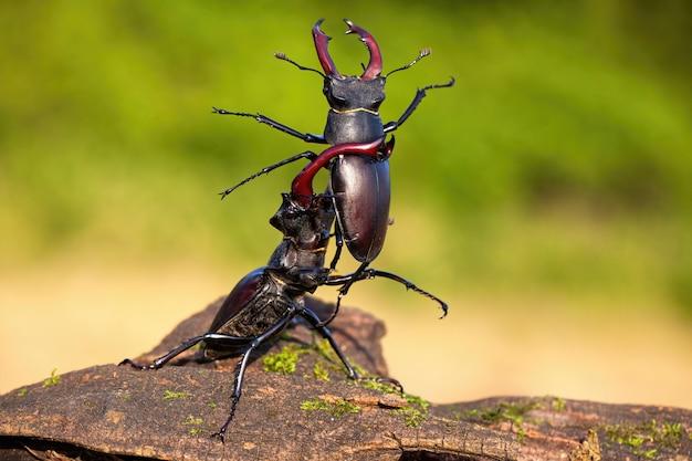 Сильный жук-олень, поднимающий соперника над головой Premium Фотографии