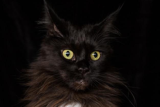 Studio portrait of a beautiful maine coon cat Premium Photo