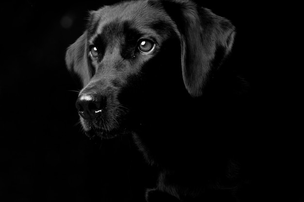Studio portrait of a dog, isolated on a black background Premium Photo
