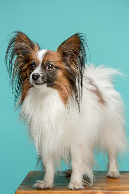 あくびの小さな子犬のスタジオポートレート 無料写真