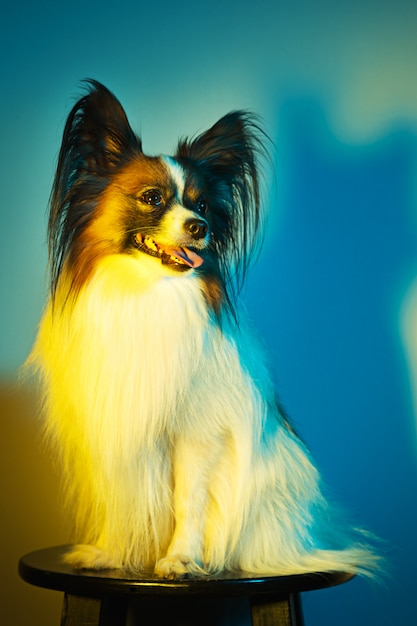 Studio portrait of a small yawning puppy papillon Free Photo