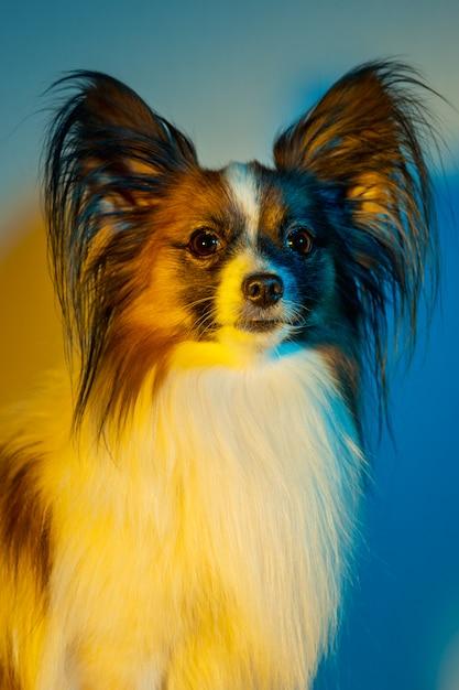 Studio portrait of a small yawning puppy papillon Free Photo
