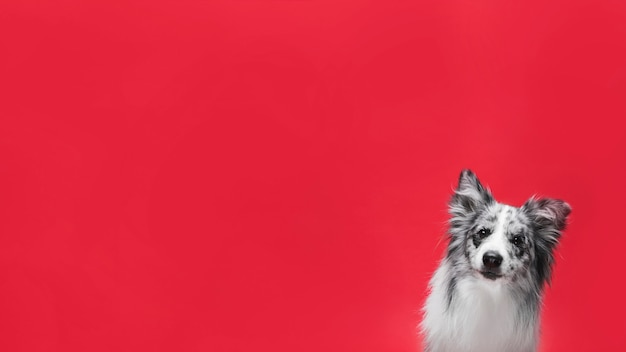 Studio shot of cute border collie dog Free Photo