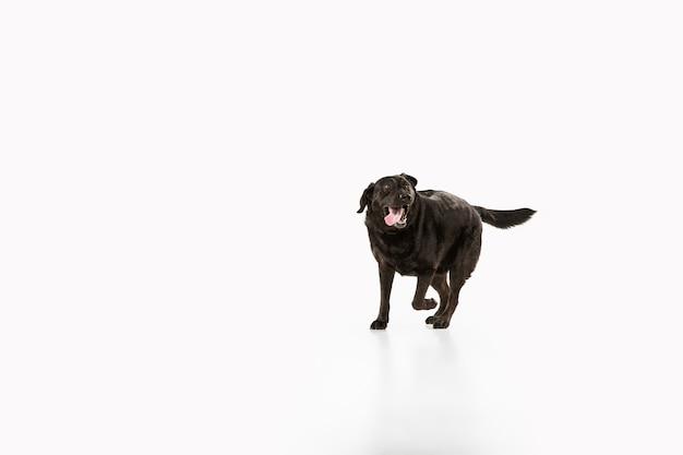 白いスタジオの壁に分離された黒いラブラドールレトリバーのスタジオショット 無料写真