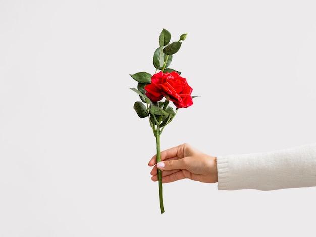 Студия выстрел из руки, держащей розы Бесплатные Фотографии
