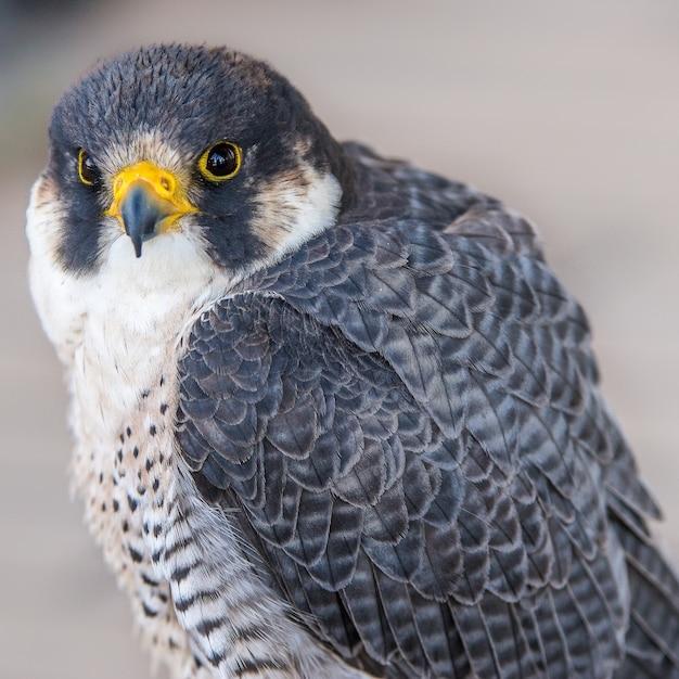 Stunning closeup shot of an eagle looking at the camera Free Photo