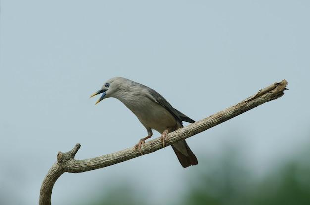 タイ、自然の枝に立つ栗の尾をしたスターリングの鳥(sturnus malabaricus) Premium写真