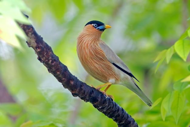 バラモンティスターリングsturnus pagodarumタイの美しい鳥 Premium写真