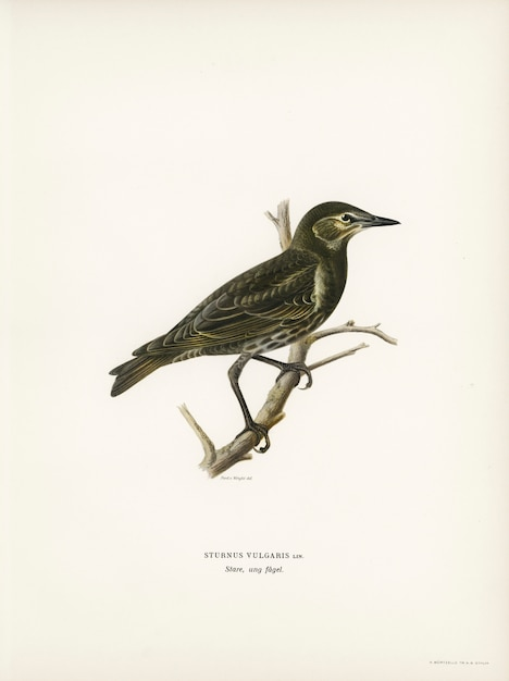 フォンライトの兄弟によって描かれたスターリング(sturnus vulgaris)。 無料写真