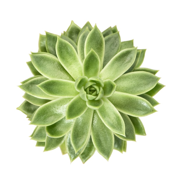 Succulent flower plant isolated Premium Photo