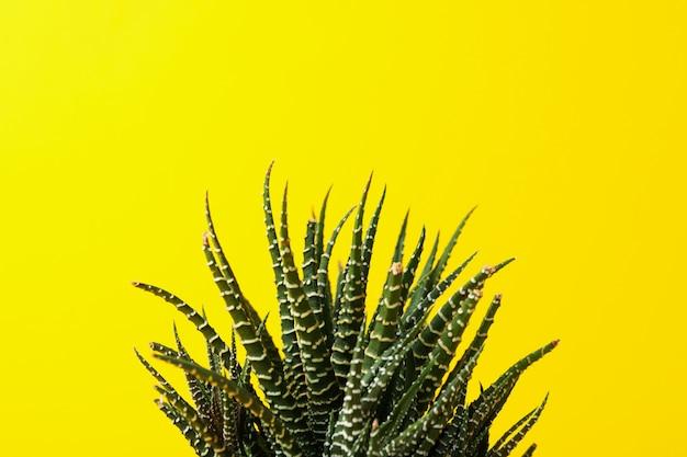 Succulent plant on yellow background, close up Premium Photo