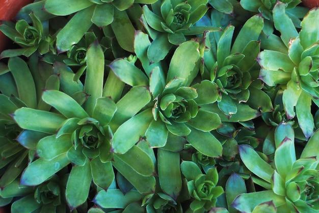 Succulents flowers sempervivum background. Premium Photo