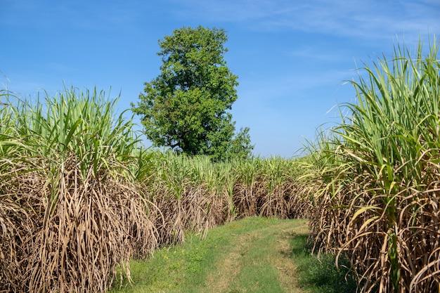 Sugar cane field with sunset sky nature landscape background Premium Photo