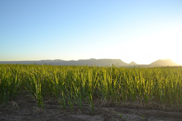 Sugar cane plantation at sunrise Premium Photo