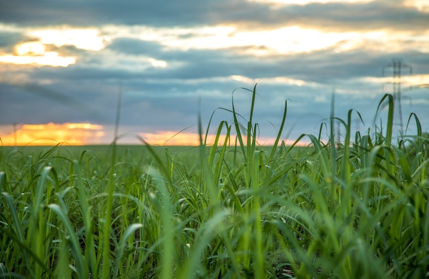 Sugar cane plantation sunset view Premium Photo