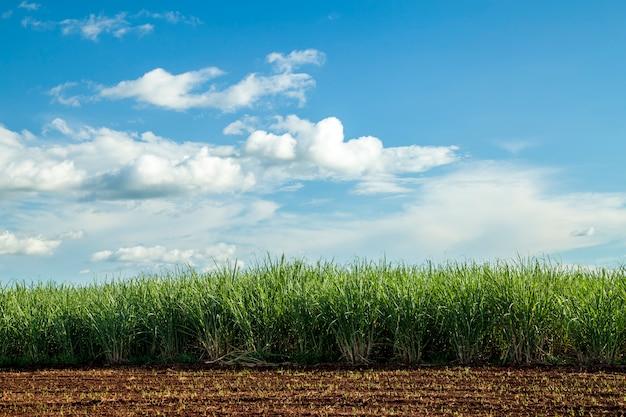 Sugar cane plantation sunset Premium Photo