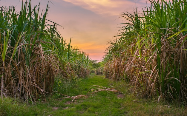 Sugar cane with landscape sunset sky photography nature background. Premium Photo