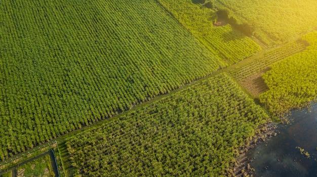 Sugarcane or agriculture in rural ban pong, ratchaburi, thailand Premium Photo