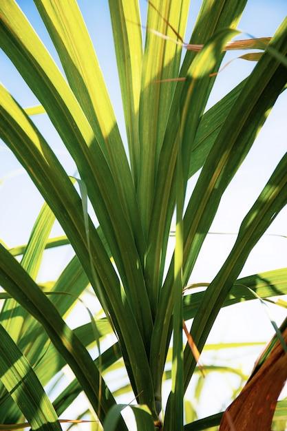 Sugarcane in field at sunlight. Premium Photo