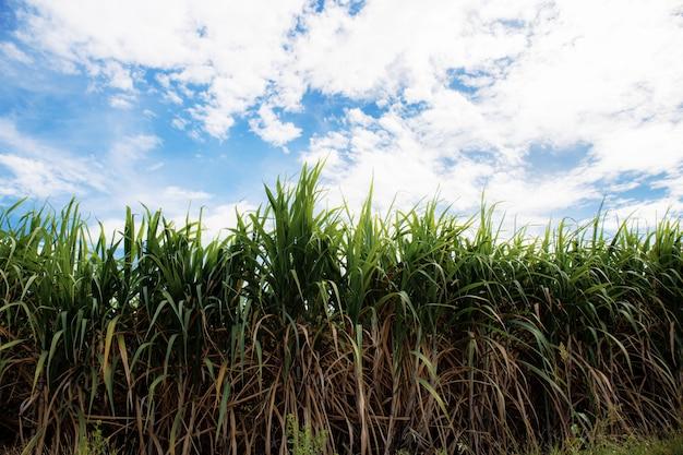 Sugarcane on field with blue sky. Premium Photo