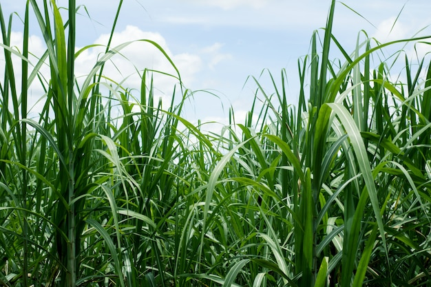 Sugarcane flied with the blue sky for background Premium Photo