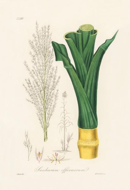Sugarcane (saccharum officnarum) illustration from medical botany (1836) Free Photo
