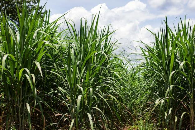 Sugarcane Premium Photo