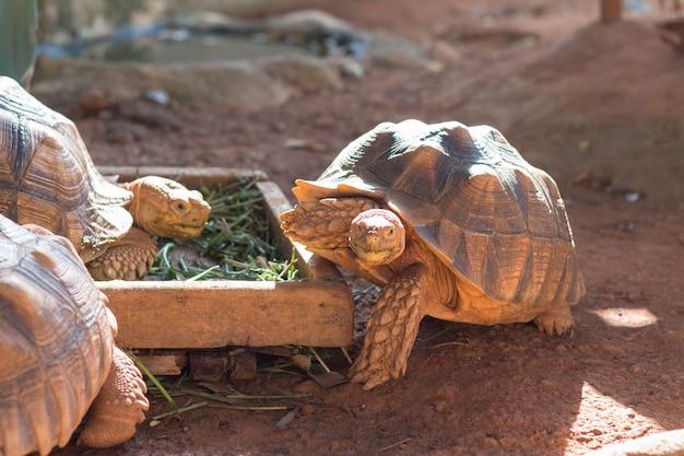 Sulcata亀、アフリカの拍車をかけた亀(geochelone sulcata)は、世界で最大の亀の種の1つです。 Premium写真