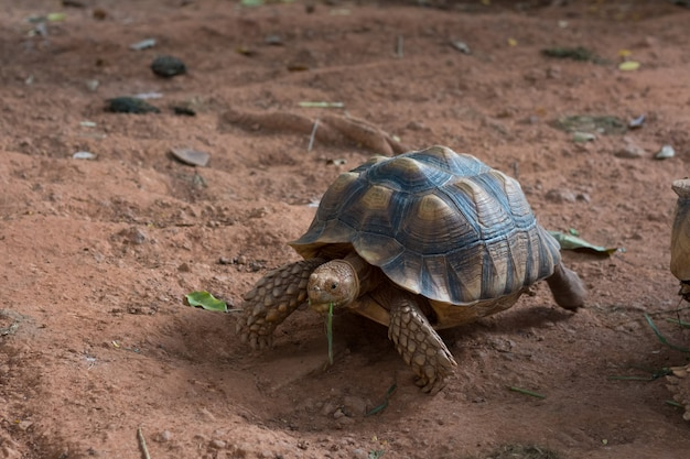 Sulcata tortoise, african spurred tortoise (geochelone sulcata) is one of the largest species of tortoise in the world. Premium Photo