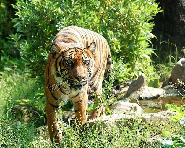 sumatran cat tiger dangerous predator  animal Free Photo