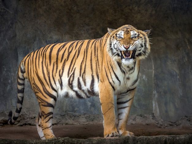 Sumatran tigers are roaring in the natural atmosphere of the zoo. Premium Photo