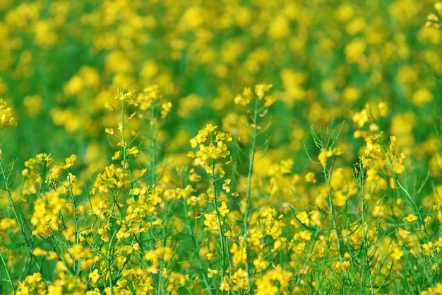 Summer background: blooming canola Premium Photo