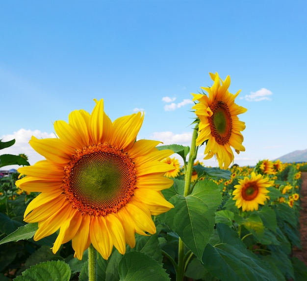 Summer concept, closeup bright yellow sunflowers in a field Premium Photo