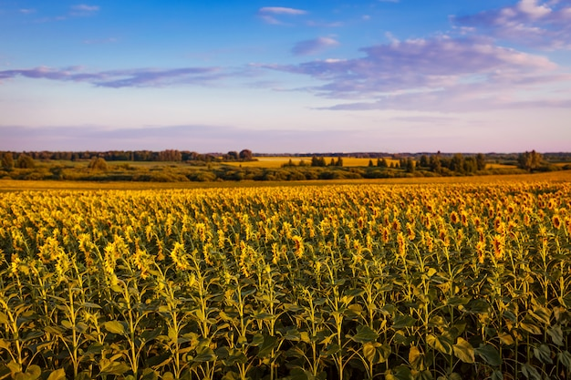 Summer field of blooming sunflowers at sunset with blue sky above Premium Photo
