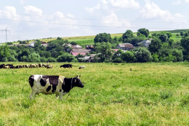 Summer landscape with cow grazing on fresh green pastures Premium Photo