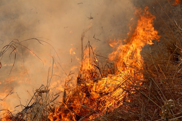 Summer wildfires burning in the forest at rural area of khon kaen. Premium Photo