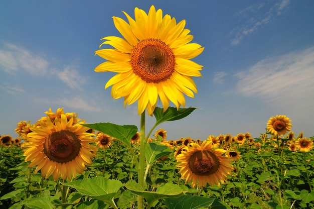맑은 날에 푸른 하늘 배경 위에 필드에 녹색 잎 여름 노란 해바라기. 농업 자연 배경, 질감 및 벽지 프리미엄 사진