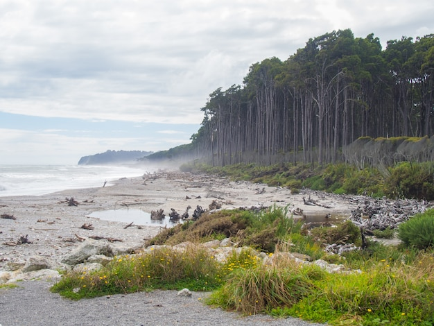 Summertime view of bruce bay, red pine forest lining beach, south island new zealand Premium Photo