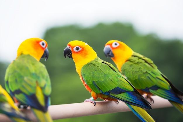 Sun conure попугай Premium Фотографии
