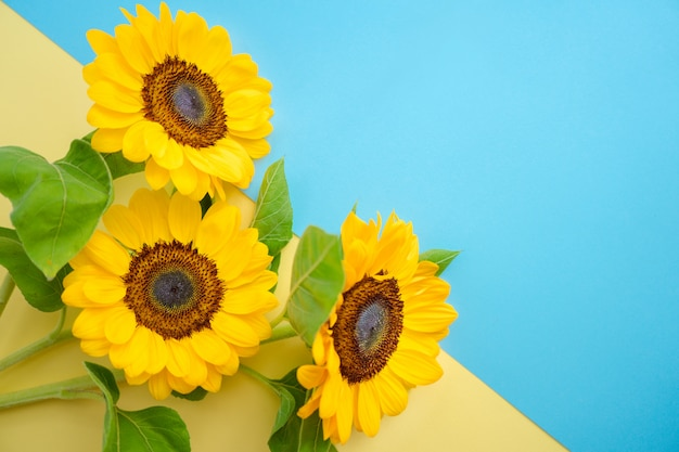 Sun flower isolated over a ukrainian flag. bright little sunflowers on yellow and blue background. Premium Photo