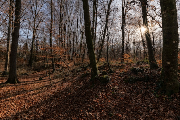 Sun stars casting shadows trees above fallen leafs in a beautiful autumn scene in olot, spain Premium Photo