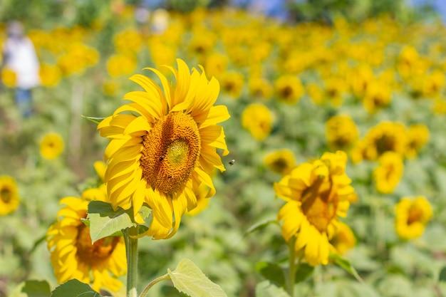 Sunflower  in a beautiful yellow garden. Free Photo