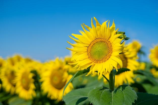 Sunflower blooming Premium Photo