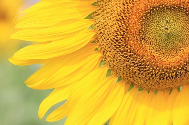 Sunflower close up Premium Photo