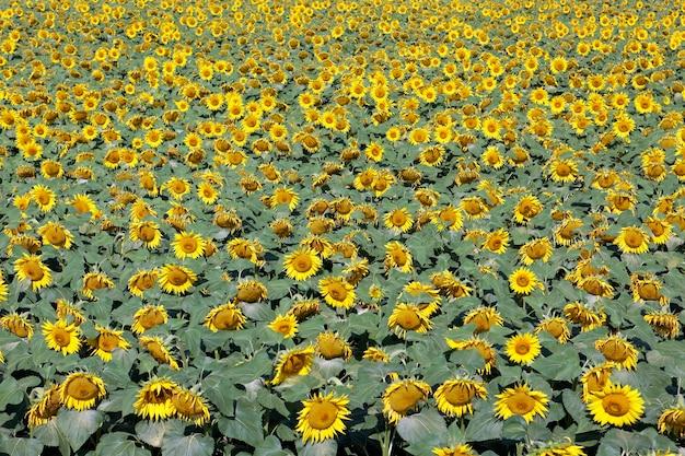 ひまわり畑と明るい太陽の光 無料写真
