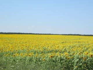 Sunflower field  field Free Photo