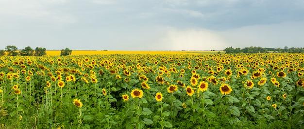 Sunflower field landscape close-up on summer sunny day Premium Photo