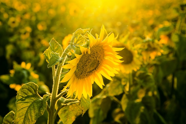 Sunflower field at sunset close up Premium Photo